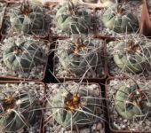 Gymnocalycium cardenasianum v. armatum VG944, Paichu, 2611m, Bolivia