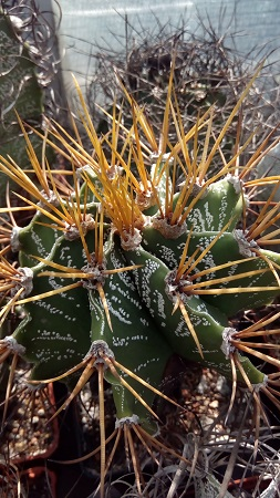 Astrophytum (Астрофитум) – «звездный» статус рода.