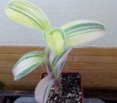 Tradescantia sillamontana f. variegata