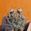 Navajoa peeblesiana f. menzelii c плодами