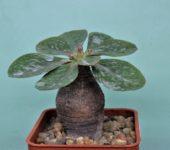 Euphorbia-ecklonii-3