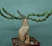 Euphorbia-micracantha-7x7