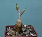 Ficus-petiolaris-2