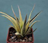 Haworthia-attenuate-f.-variegate