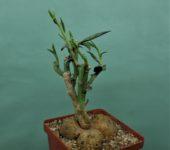 Monadenium-rubellum-Tanzania-3