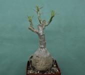 Pachypodium-succulentum-1