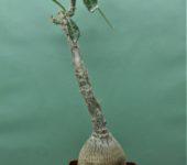 Pachypodium-succulentum-2