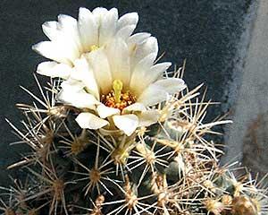 Sclerocactus cloveriae