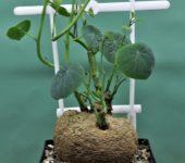 Stephania-rotundifolia