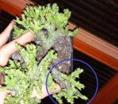 Euphorbia enopla cristata cv. Coral деленка