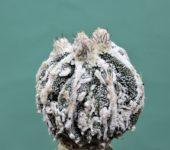 Astrophytum-ornatum-cv.Haku-Yo-Fukuryu-f.caespitosa-4