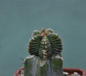 Aztekium-valdezii