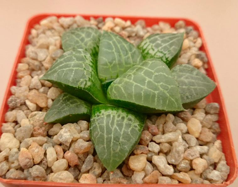 Haworthia comtoniana cv. 'Crystal'