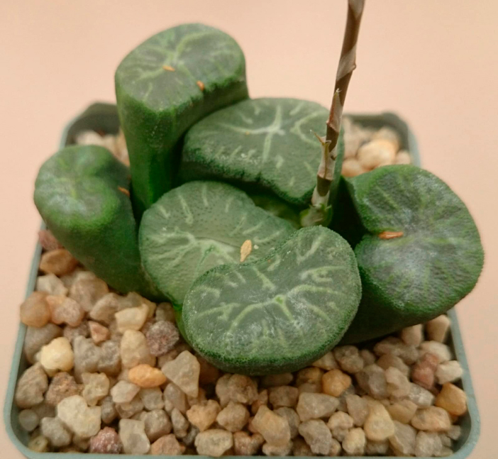 Haworthia maughanii cv. 'Dragon'