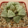 "Haworthia picta cv. ""Ivory-White"""