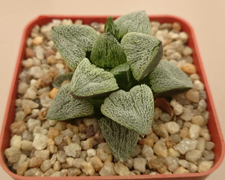 Haworthia pygmeae cv. 'Snow White'