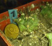 TURBINICARPUS SWOBODAE 1