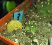TURBINICARPUS SWOBODAE 3