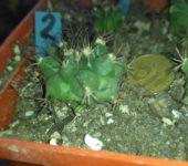 TURBINICARPUS SWOBODAE 2