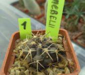 gymnocalycium knebelii 1