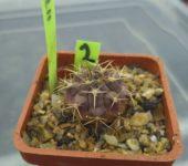 gymnocalycium knebelii 2