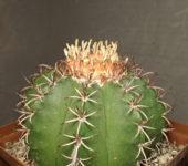Melocactus matanzanus (12см)