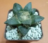 Ariocarpus retusus (21)