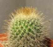 mammillaria spinosissima