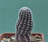 Mediolobivia-pygmaea