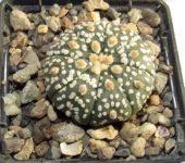 101 Astrophytum V type x Hanazono