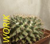 Mammillaria winterae 12см, 2002рік (mesa garden 950.7)
