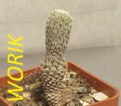 Turbinicarpus krainzianus var. minimus (Pavlicek Pavel)
