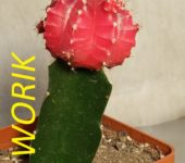 gymnocalycium friedrichii red moon