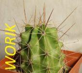 Echinocereus enneacanthus (mesa garden 203)
