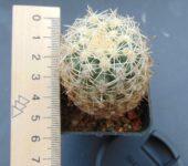 Sclerocactus wetlandicus ssp.ilseae.RP25.Myton.Ut.grafted(echinocereus)