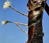 Selenicereus wittii - необычный кактус из Амазонии