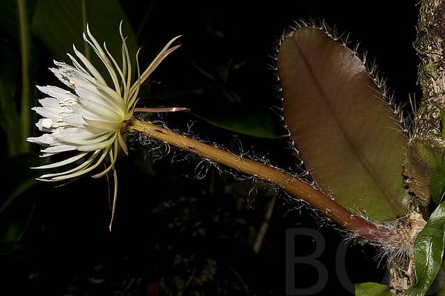 Цветение Selenicereus wittii