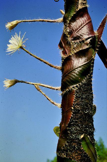 Selenicereus wittii – необычный кактус из Амазонии