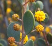 Acacia ancistrophylla