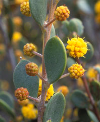 Acacia (Акация)