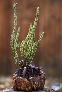 Ceraria namaquensis- растение в культуре