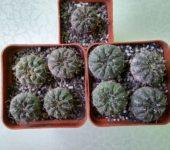 Gymnocalycium riojense paucispinum VG551 Balde de la Punta 245m (1)