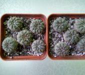 Gymnocalycium riojense paucispinum VG551 Balde de la Punta 245m (2)