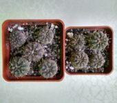 Gymnocalycium riojense paucispinum VG551 Balde de la Punta 245m (3)