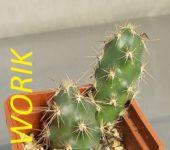 Corynopuntia moelleri