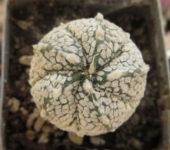 astrophytum - гибрид, пятиреберный