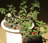 Delosperma Echinatum