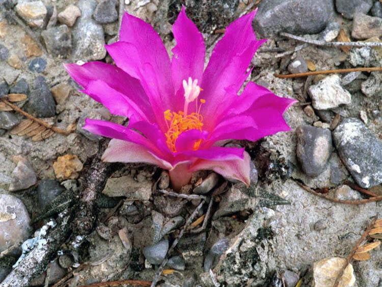 Гибридное растение, похожее на Ariocarpus agavoides в природе. Туберкулы имеют отчетливую центральную бороздку, показывающую влияние A. kotschoubeyanus на происхождение гибрида.
