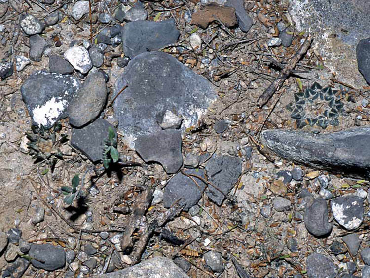 Гибридный образец с удлиненными бугорками, растущий рядом с типичным растением Ariocarpus kotschoubeyanus.