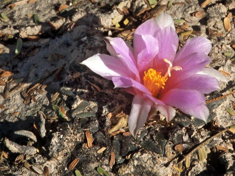 Очень близкий по строению тела к Ariocarpus kotschoubeyanus, несколько более длинные, чем обычные бугорки, и более крупный цветок типа A. agavoides указывают на гибридное происхождение. Обратите внимание также на молодое растение A. agavoides слева на этой фотографии.